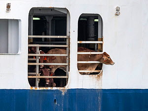 Cow peering out of transport ship, moving cattle from Australia to Israel. June 2018. - Jo-Anne McArthur / We Animals