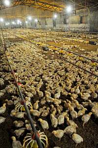 Factory-farmed broiler chickens, in an industrial barn, Spain, January 2011  -  Jo-Anne McArthur / We Animals