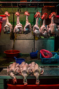 Dead and plucked chickens hang by hooks through their beaks at an early-morning 'wet market' or produce market, Taipei, Taiwan. January 2019.  -  Jo-Anne McArthur / We Animals