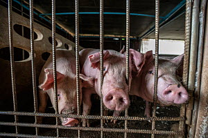 Domestic pigs curiously sniffing through bars at pig farm in Thailand, February 2019.  -  Jo-Anne McArthur / We Animals