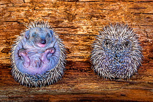 Hedgehog (Erinaceus europaeus) hoglets, age nine days old curled up in a ball, France. - Klein & Hubert