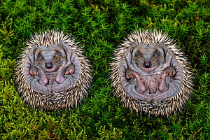 Hedgehog (Erinaceus europaeus) hoglets uncurling from ball, age 10 days, France. - Klein & Hubert