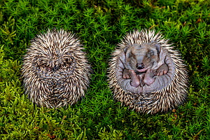 Hedgehog (Erinaceus europaeus) hoglets curled up in a ball, age 10 days, one uncurling from ball. France. - Klein & Hubert