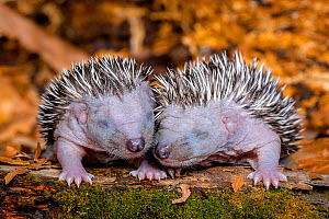 Hedgehog (Erinaceus europaeus) hoglets age six days, France. - Klein & Hubert