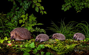 Hedgehog (Erinaceus europaeus) three hoglets, age three wee weeks, following adult female. France.  -  Klein & Hubert