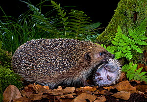 Hedgehog (Erinaceus europaeus) carrying hoglet, age 10 days to new nest. France. - Klein & Hubert