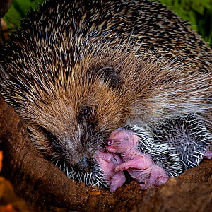 Hedgehog (Erinaceus europaeus) female sleeping with her hoglets, age 6 days, France. - Klein & Hubert