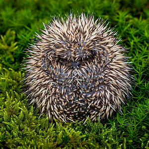 Hedgehog (Erinaceus europaeus) age ten days curled into a ball, France.  -  Klein & Hubert