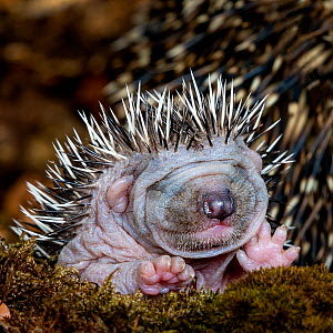 Common hedgehog (Erinaceus europaeus) hoglet aged five days, eyes not yet open - Klein & Hubert
