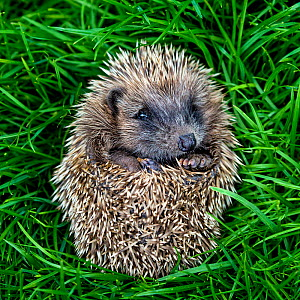 Common hedgehog (Erinaceus europaeus) young orphan, curled in a ball in grass. France.  -  Klein & Hubert