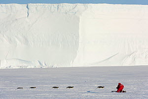 Cameraman Lindsay McCrae filming Emperor penguin (Aptenodytes forsteri) group tobogganing across ice on journey to provide young with food;for BBC Dynasties Penguin programme. Atka Bay, Antarctica. Oc... - Stefan Christmann