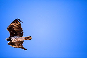 Martial Eagle (Polemaetus bellicosus) flying, Karoo National Park; Western Cape Province, South Africa.  -  Richard Du Toit