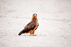 Tawny eagle (Aquila rapax) on ground, Kgalagadi Transfrontier Park, South Africa.  -  Richard Du Toit