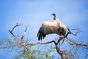 Whitebacked Vulture (Gyps africanus )in tree, Kruger National Park, Limpopo Province, South Africa.  -  Richard Du Toit
