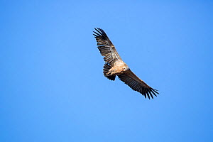 Cape vulture (Gyps coprotheres) flying, Marakele National Park, South Africa.  -  Richard Du Toit