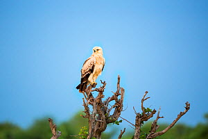 Tawny eagle (Aquila rapax) Kruger National Park, Limpopo Province, South Africa  -  Richard Du Toit