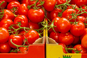 Tomatoes for sale in supermarket.  -  Matthew Maran