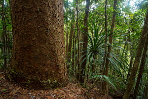 Base of giant Koghis kauri pine (Agathis lanceolata) above the Blue River, Blue River Provincial Park, South Province, New Caledonia. Endemic.  -  Duncan Murrell