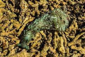 Wedge sea hare (Dolabella auricularia) in Southern Lagoon north of Prony Bay, Lagoons of New Caledonia: Reef Diversity and Associated Ecosystems UNESCO World Heritage Site. New Caledonia.  -  Duncan Murrell