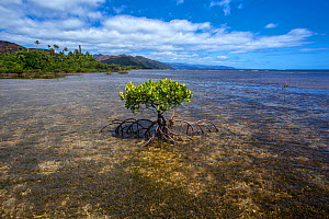 Small mangrove tree on the Forgotten Coast, Southern Lagoon, Lagoons of New Caledonia: Reef Diversity and Associated Ecosystems UNESCO World Heritage Site. New Caledonia. - Duncan Murrell