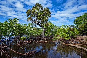Mangroves on the Forgotten Coast. Lagoons of New Caledonia: Reef Diversity and Associated Ecosystems UNESCO World Heritage Site. New Caledonia. - Duncan Murrell