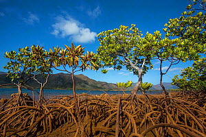 Mangroves on Tupeti Island, Southern Lagoon, Forgotten Coast, Lagoons of New Caledonia: Reef Diversity and Associated Ecosystems UNESCO World Heritage Site. New Caledonia.  -  Duncan Murrell