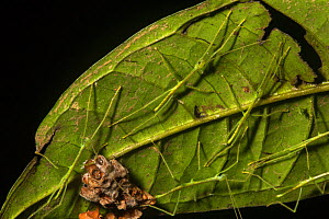 Stick insect nymphs (Phasmatodea) with empty egg cases on the underside of a leaf in Gunung Mulu National Park, Sarawak, Malaysian Borneo.  -  Duncan Murrell