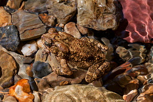 Philippines toad (Ingerophrynus philippinicus), endemic, Cleopatra's Needle Critical Habitat, Palawan, the Philippines.  -  Duncan Murrell