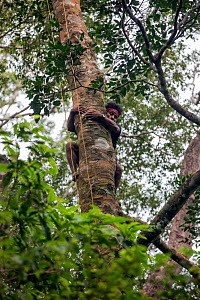 Batak man descending a tree in Cleopatra's Needle Critical Habitat, Palawan, the Philippines. September 2016. - Duncan Murrell