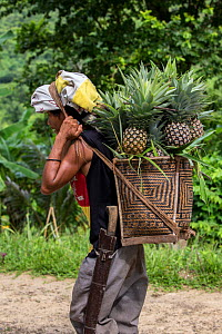 Indigenous Palawano man carrying pineapples in a traditional pandan basket, South Palawan, the Philippines. August 2016  -  Duncan Murrell