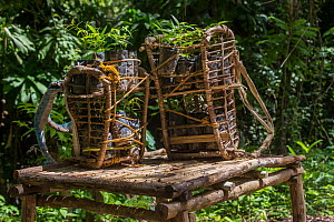 Almaciga seedlings (Agathis philippinensis), in traditional rattan backpacks near Sitio Tagnaya for replanting in Cleopatras Needle Critical Habitat, Palawan, the Philippines. - Duncan Murrell