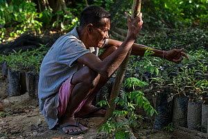 Batak elder with Almaciga seedlings (Agathis philippinensis), Manggapin, Palawan, the Philippines.The Centre for Sustainability's Saving the Almaciga Tree Project aims to restore the numbers of re...  -  Duncan Murrell