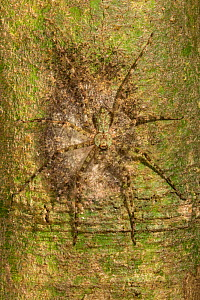 Lichen huntsman spider (Pandercetes gracilis) female with a silk sac of spiderlings attached to a tree trunk in the Danum Valley Conservation Area lowland dipterocarp rainforest, Sabah, Malaysian Born...  -  Duncan Murrell