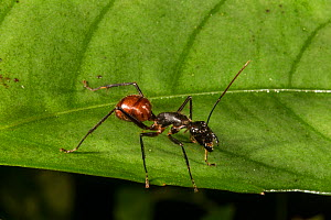 Giant forest ant (Camponotus gigas), Danum Valley Conservation Area, Sabah, Malaysian Borneo.  -  Duncan Murrell