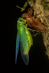 Jade green cicada (Dundubia vaginata) after ecdysis with exuvium, Gunung Mulu National Park, UNESCO World Heritage Site, Sarawak, Borneo. - Duncan Murrell