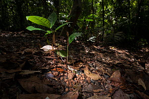 Seedlings growing from cassowary scat / faeces on the forest floor of the Daintree Rainforest Observatory. Queensland, Australia February 2015 - Jurgen Freund