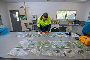 Dr. Alex Cheesman examining leaf samples whilst studying phloem flux in Daintree Rainforest Observatory, Queensland, Australia February 2015 - Jurgen Freund