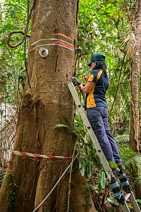 Dr. Yoko Ishida at the Daintree Drought Experiment downloads data from the trees carrying her scientific instruments. Daintree Rainforest Observatory, Queensland, Australia. September 2015  -  Jurgen Freund