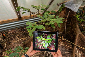 Scientific experiment to see how rainforest plants cope under drought conditions, with photograph on tablet showing what a wet healthy forest looks like. Daintree Rainforest Observatory, Australia. De... - Jurgen Freund