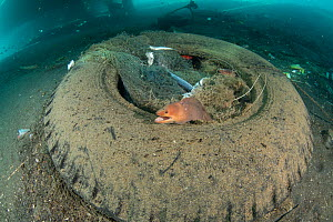 Moral eels, Urchins, Cuttlefish, Shrimp and other marine life living within a discarded tyre and fishing net under a ships' harbour, Maluku, Indonesia. November. - Jurgen Freund