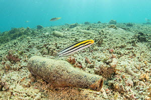Striped poison-fang blenny (Meiacanthus grammistes) swimming above its discarded bottle home, surrounded by rubbish, Sulawesi, Indonesia. November. - Jurgen Freund