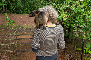 Wildlife carer Margit Cianelli walking with young Lumholtz's tree-kangaroo (Dendrolagus lumholtzi) Lumholtz Lodge, Atherton Tablelands, Queensland, Australia. Model released.  -  Jurgen Freund