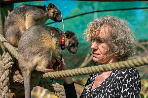 Wildlife carer Margit Cianelli with juvenile Lumholtz kangaroo (Dendrolagus lumholtzi) with radio collar. The tree kangaroo has a radio collar to allow her to explore her forest surroundings ready for...  -  Jurgen Freund