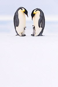 Emperor penguin (Aptenodytes forsteri), two adults brooding begging chicks aged five weeks. Atka Bay, Antarctica. September.  -  Stefan Christmann