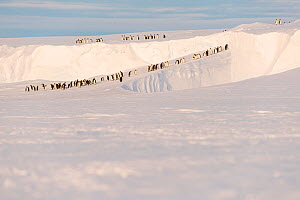 Emperor penguin (Aptenodytes forsteri) group in procession across ice shelf to provide food for young. Atka Bay, Antarctica. September 2017.  -  Stefan Christmann
