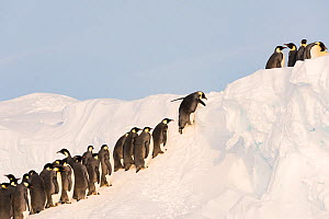 Emperor penguin (Aptenodytes forsteri) group clambering up slope during journey to bring back food for young. Atka Bay, Antarctica. September. - Stefan Christmann