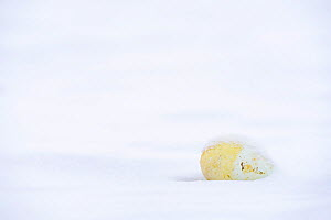 Emperor penguin (Aptenodytes forsteri) unhatched egg, unable to survive harsh winter conditions. Atka Bay, Antarctica. September.  -  Stefan Christmann