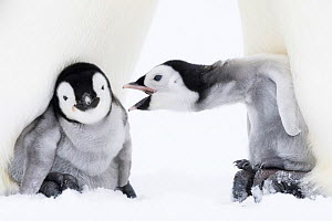 Emperor penguin (Aptenodytes forsteri), two chicks aged six to eight weeks brooding on parents' feet, one vocalising. Atka Bay, Antarctica. September.  -  Stefan Christmann