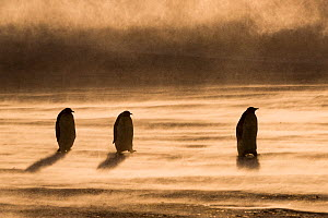 Emperor penguin (Aptenodytes forsteri), three in a row, walking through drifting snow to feed young. Atka Bay, Antarctica. September. - Stefan Christmann