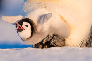 Emperor penguin (Aptenodytes forsteri) chick aged six to eight weeks stretching and yawning whilst on parent's feet. Atka Bay, Antarctica. September. - Stefan Christmann